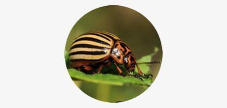 колорад жук